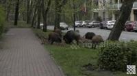 美国野猪泛滥, 成群结队满大街跑, 恣意吃食花草, 群众视而不见!