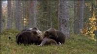 三只灰熊围着一头驼鹿尸体, 大吃特吃
