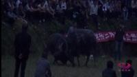 2017芦笙节斗牛