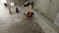 斗鸡:红霸对战大牛(重腿ko)