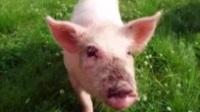 用英语教简笔画 猪