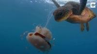 看饿了,海龟捕食水母,感觉像吃粉条啊