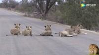 被狮群重重包围 千钧一发之际 车主的这一选择救了自己一命! !