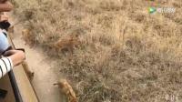 碧山 | 2017 坦桑尼亚邂逅狮群实拍