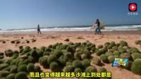 """悉尼沙滩出现绿色的""""外星人鸡蛋"""", 这回又要求助中国网友了?"""