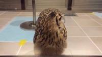 DK猫の小宠物-5 猫头鹰瞅瞅你