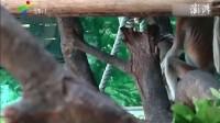 中国首次引进大鼻猴,比大熊猫还稀有