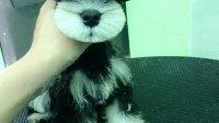三个月大的雪纳瑞幼犬美容
