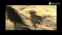 4只猎犬vs美洲虎