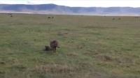 鬣狗vs疣猪