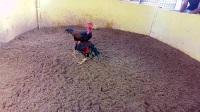 前途无量的功夫重腿小嫩鸡6.4斤
