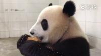 大熊猫吃窝窝头也溜号