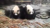 大熊猫一动不动,游客:真的假的?