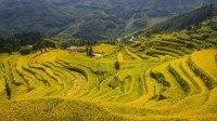 金川山林村稻子黄了
