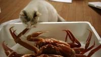 [搞笑动物]猫咪看见螃蟹的反应[超清版](1)