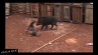 这比特犬完全不是野猪的对手, 吓得比特犬连连后退