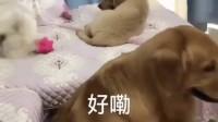 金毛轮胎眼看儿子被别的狗欺负,竟不敢吱声,真是怂啊!
