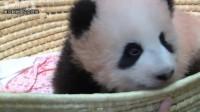 上野パンダ:シャンシャン(香香)生後110日(熊猫小仙女一家)