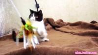 【加菲猫】鱼丸弟弟 找新家 坐标西安
