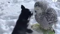 真是一场跨越种族的爱情,感动。。猫头鹰:[二哈]哥,憋说话,吻我!