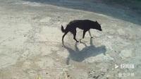 被抛弃的中华田园犬小黑,不知主人已经远行,仍在固守家园,痴情地等待主人归来