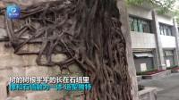 """重庆一石墙现""""树坚强"""" 游客:先有树还是先有墙?"""