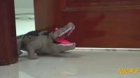 我的霸王龙恐龙VS拯救鲨鱼愤怒的鳄鱼玩具