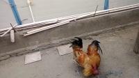 斗鸡:黄蜂战金膘(备战元旦杭州)