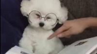 当比熊犬戴上眼镜, 一个比熊学士就这么诞生了!