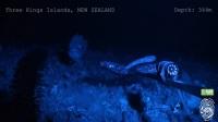 Hagfish predatory behaviour