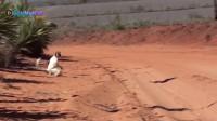 BM出品 跳舞狐猴berenty保护区Sifaka Madagascar BMedia