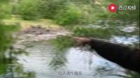 荒野求生: 贝爷真懂得享受, 用滚烫的泉水来煮小龙虾, 看着好美味