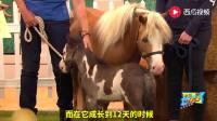 英国最袖珍的马, 长也长不大, 主人只好当狗养了, 看完好想买一只