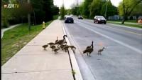鸭子一家文明过马路,这素质真高!