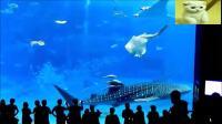 人们观看水族馆时无意拍下, 一条金枪鱼撞到玻璃死亡画面