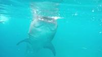 201802 Cebu Whale Shark - 宿雾鲸鲨