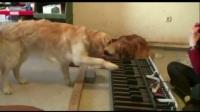 狗狗也可以有 绝对音感弹钢琴