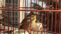我的柠檬燕鸟叫