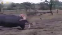 猎奇实拍:狮群开战河马,这罕见的生死肉搏场面太壮观了!