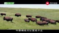 荒野求生 贝尔: 那些野牛正朝我们走来, 我可不想招惹它们