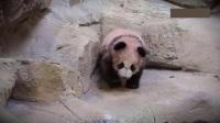 Panda Yuan Meng première sortie avec