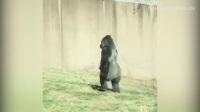 美国一大猩猩为保持双手清洁直立行走
