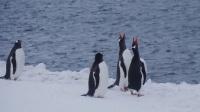 这群小企鹅太有趣!这只是在打滚吗?赵又廷:太可爱了吧!