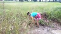 实拍:妹子在农田水沟里舀水捉鱼捡田螺