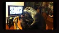 仓鼠,龙猫都弱爆了,这个小可爱要成为新晋超红宠物啊,超治愈!