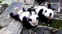 可爱熊猫宝宝神同步吃播, 萌翻了!