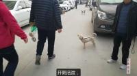 四个月大的拉布拉多,见到其他狗狗,热情又亲切!