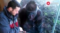 男子玩平板一抬头发现大猩猩凑过来了, 我很想知道在看什么