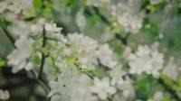 第十一届海棠花节