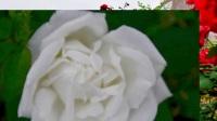 怡园花田  玫瑰飘香